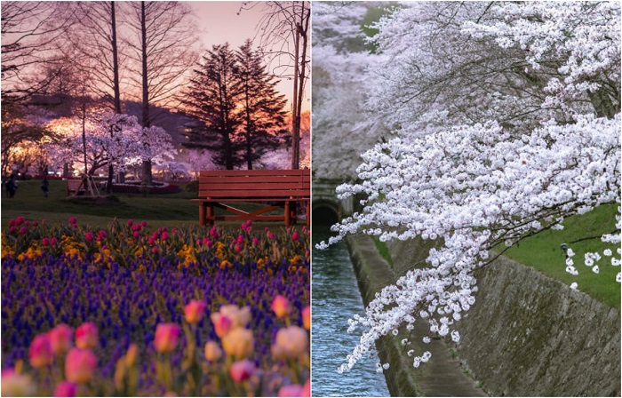 Сакура в цвету: Фотопейзажи из Японии, от которых захватывает дух
