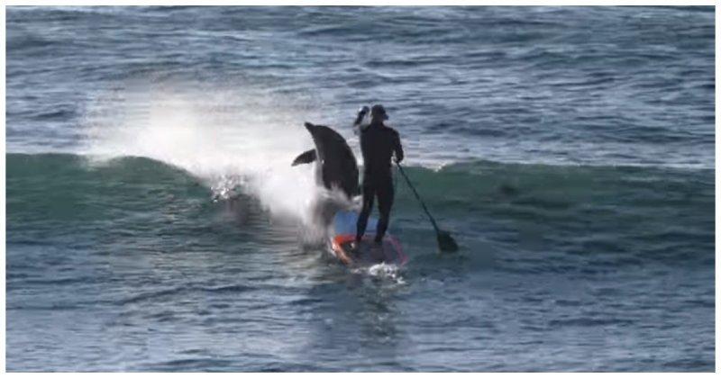 Дельфин увлекся погоней за рыбой и врезался в сапсерфера