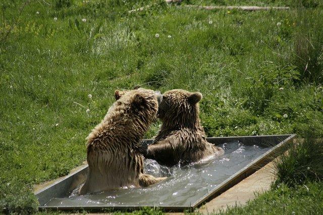 Два спасенных медведя встретились в приюте и влюбились в друг друга с первого взгляда