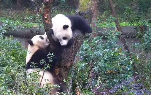 Делили дерево, дрались и кусались: Бой между двумя пандами стали хитом Сети