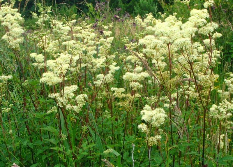 Таволга вязолистная, или Лабазник вязолистный, или Таволожник - съедобны молодые листья выживание, интересное, растения, съедобные