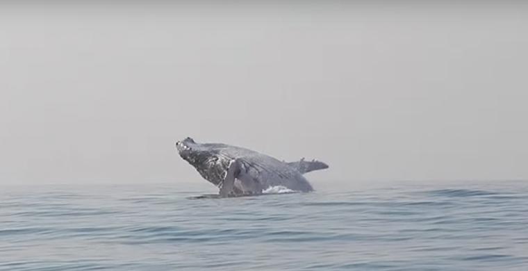 Горбатый кит вообразил себя дельфином и попал на видео