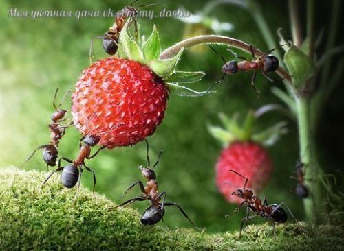 Как избавиться от муравьев на садовом участке.