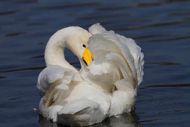 Лебедь-кликун история, сахалин, факты
