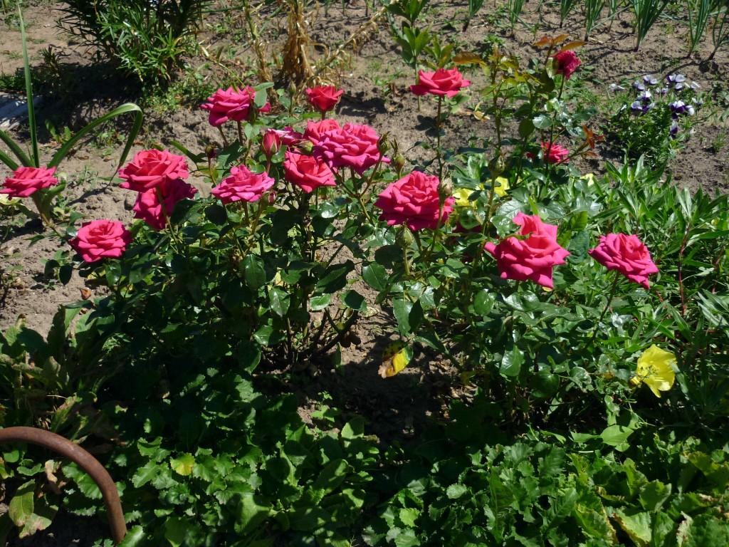 Розы которые цветут все лето