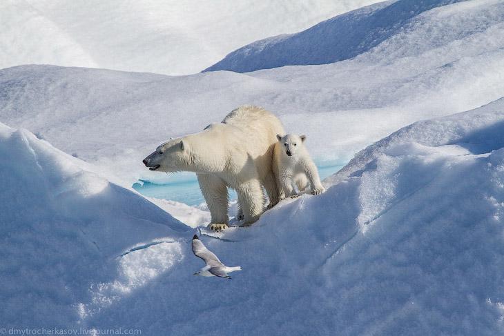 Красавцы белые медведи в фотографиях Дмитрия Черкасова