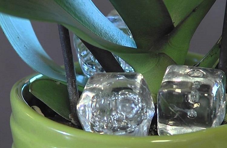 Положите кубик льда в горшок с орхидеей и увидите как это поможет ей