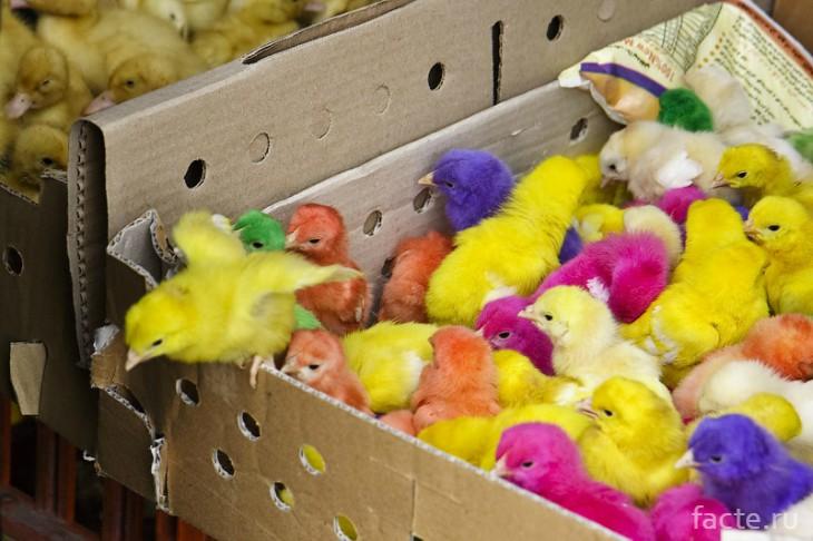 Цветные цыплята: круто или печально?