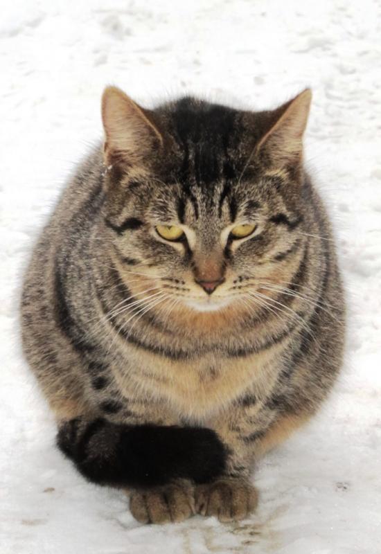 Коту не страшны холода, у него внутри теплота бронетехника, животные, коты