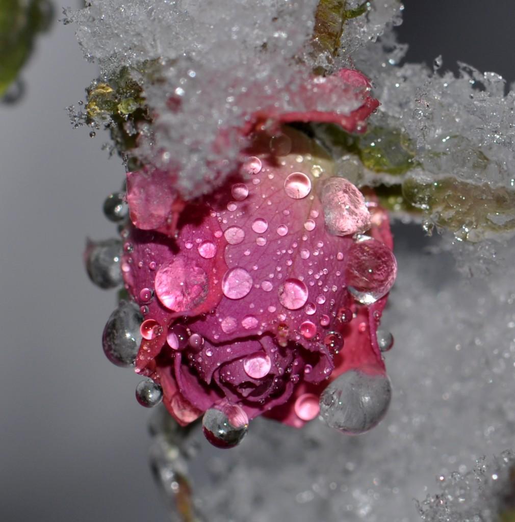 Роза тает