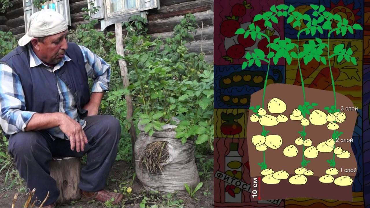 Посадка картофеля в бочку фото пошагово