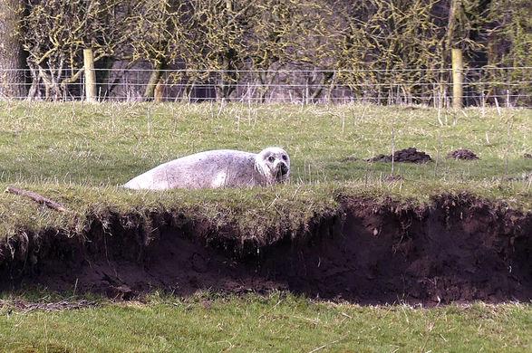 Тюлень обнаружен в долине в 80 км от ближайшего побережья