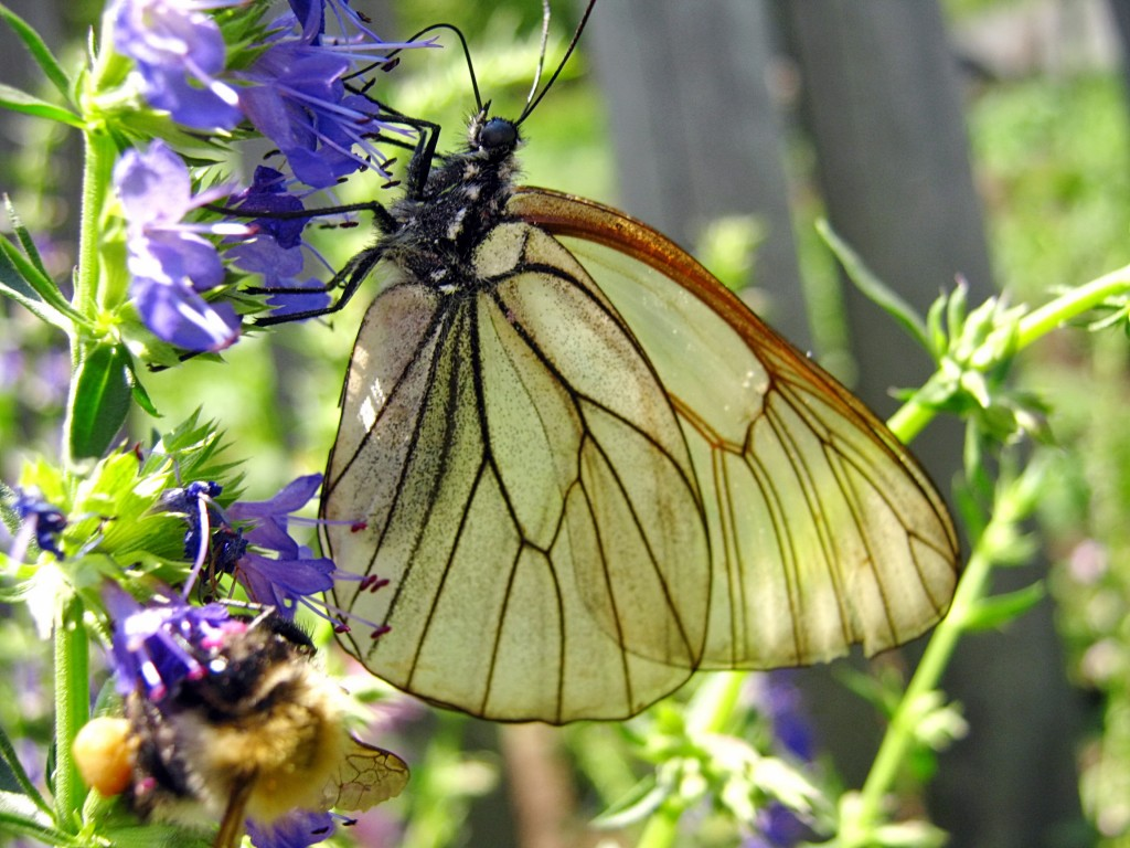 Бабочка БОЯРЫШНИЦА***