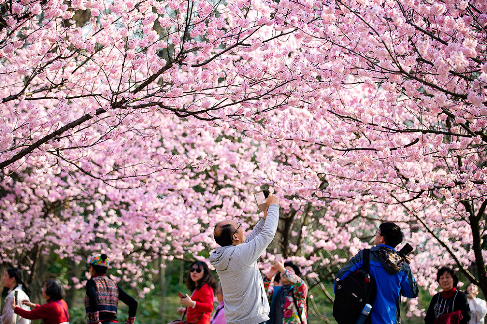 В Японии зацвели сакуры