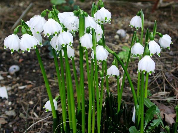Белоцветник весенний var. vagneri. Фото с сайта flickr.com