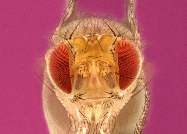 Самцов дрозофил заставили эякулировать без самки. Они захотели еще