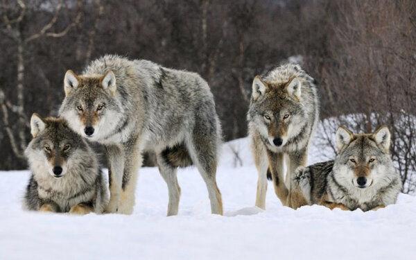 Стая волков спасла и отогрела беременную женщину