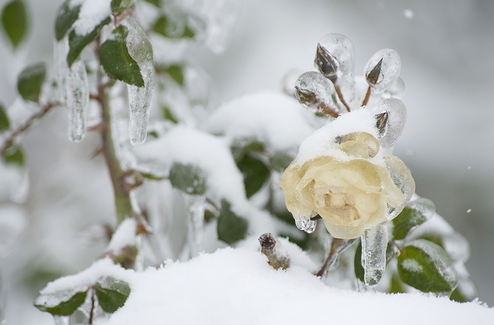 Хрустальные розы