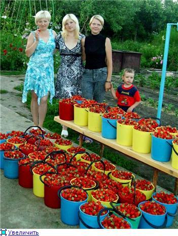 Выращивание садовой клубники (земляники) - личный опыт