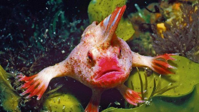 В Австралии нашли редкую рыбу-лопату, которая ходит по дну лапами