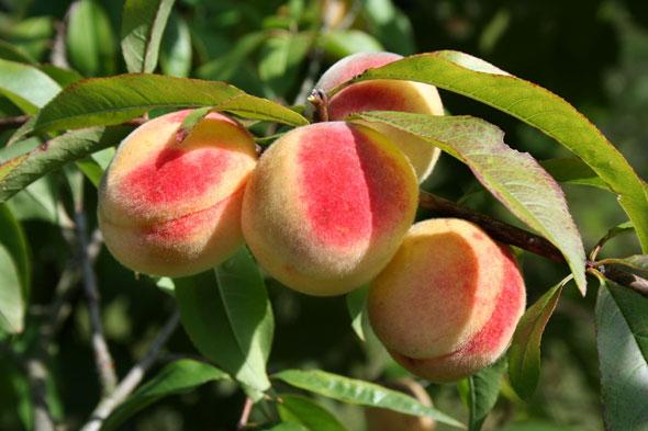 Как вырастить персики в зоне риска