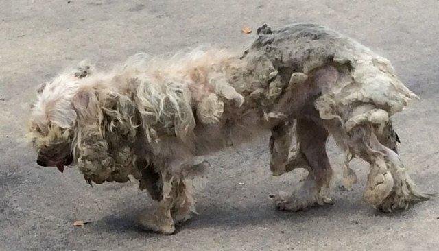 Самая запущенная собака в мире стала красавицей! Пудле-такса прячет еду в диван… и улыбается