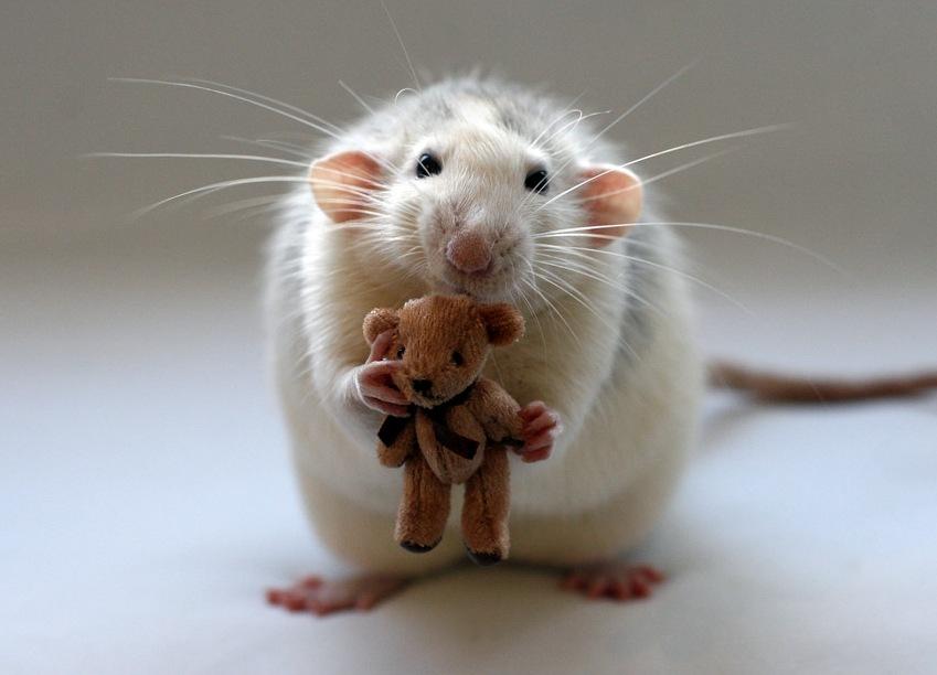 К истории про крыса... В данном случае, про крыску.