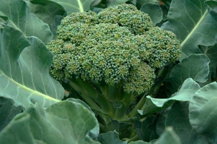 Капуста брокколи. Выращивание и уход