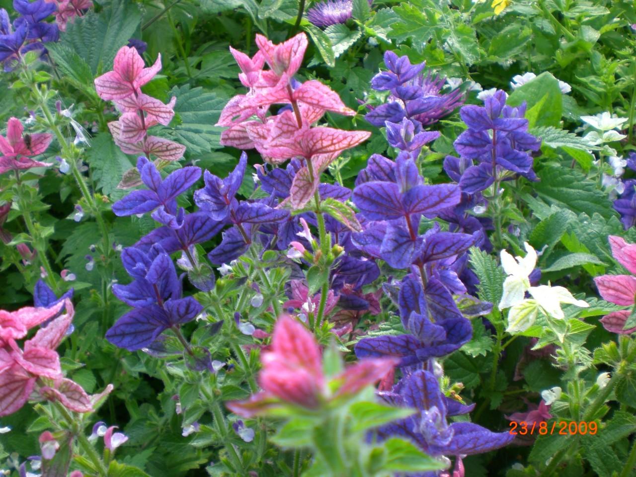 Сальвия рио цветов рассада когда сажать