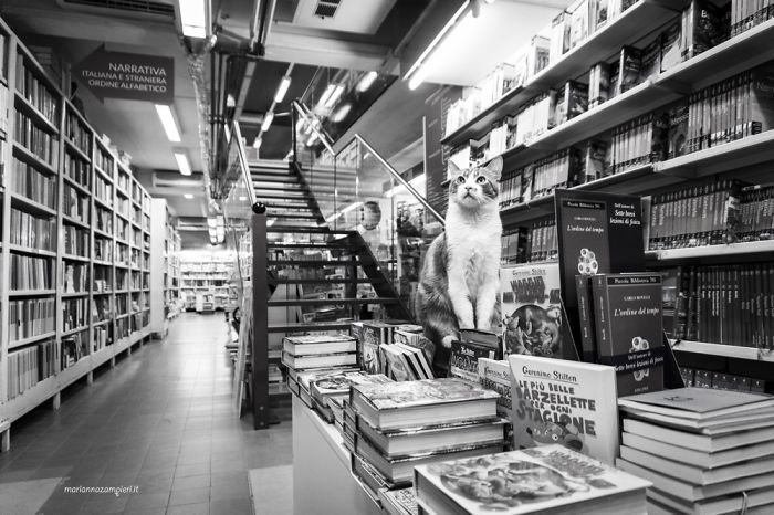 7. Польдо в книжном домашние животные, коты, кошка, кошка в магазине, кошки, фотопроект, черно-белая фотография, черно-белое фото