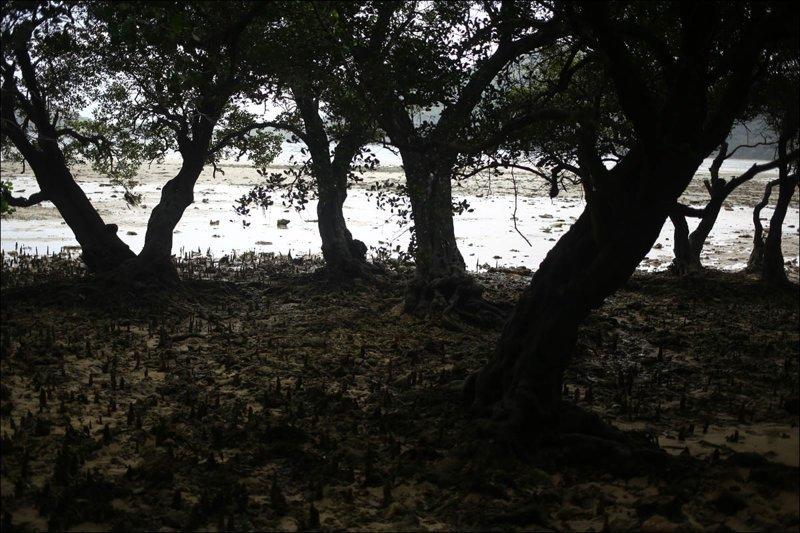 Мангровый лес: крутейший биом планеты Мангровый лес, в мире, земля, планета, природа, экология