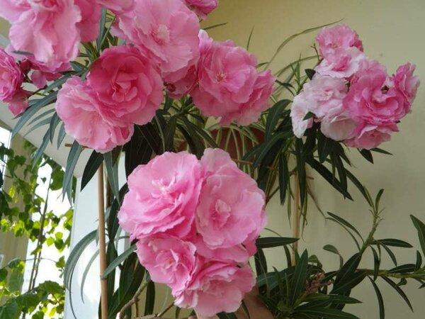 ОЛЕАНДР - беспроблемный цветок