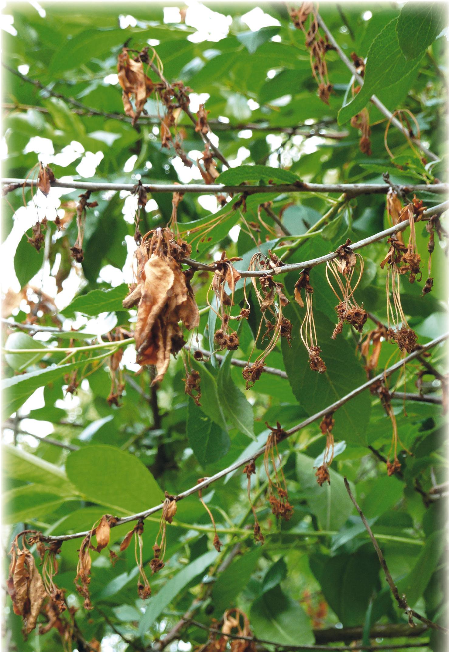 Две новых болезни вишни