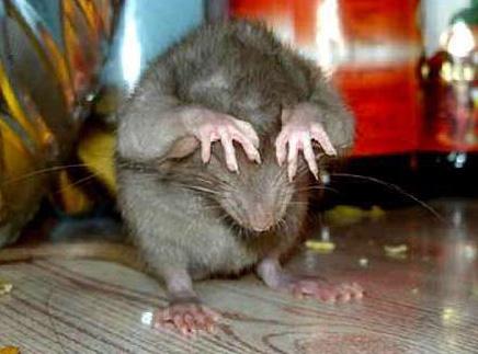 Тамара Петровна к крысам относится так себе