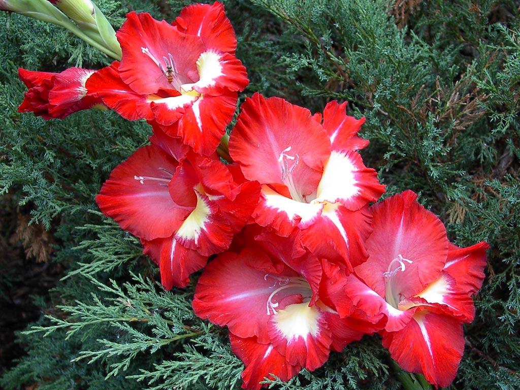 10 важных правил выращивания гладиолусов