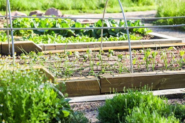 Планируем огород. Какие культуры совместимы, а какие лучше рядом не сажать?