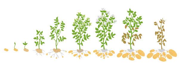 Фазы развития картофеля