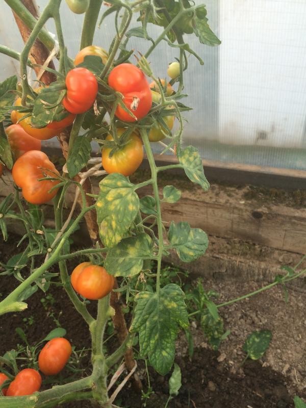 На листьях томатов стали появляться пятна. Что это?