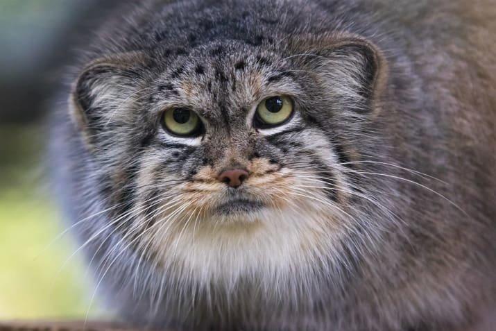 Посмотри на манула и улыбнись! 10 фактов о самых харизматичных диких кошках интернета
