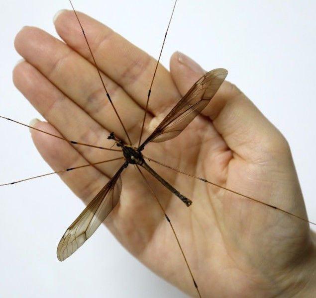 В Китае поймали комара ужасающих размеров