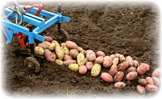Картофель выращен на сене
