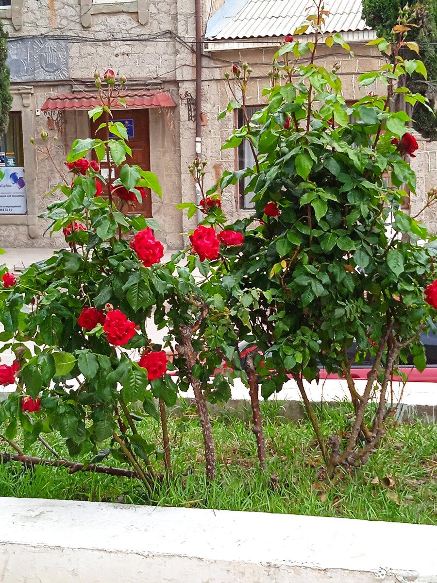 Розы огромные, как шапки