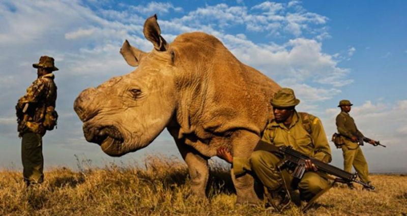 Умер последний в мире самец северного белого носорога, но ученые не теряют надежду на сохранение вида