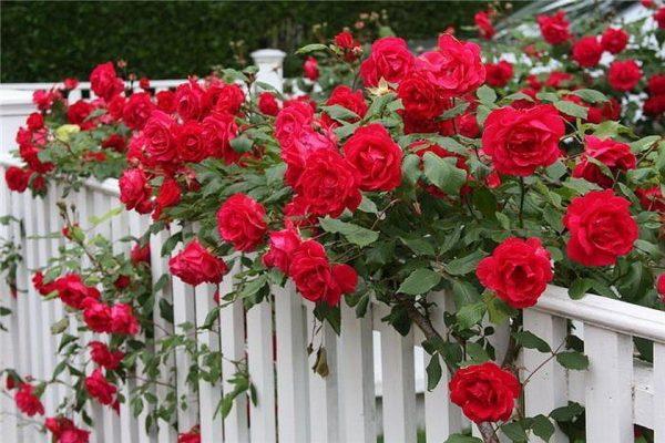 Вьющаяся роза. Правильный ух…