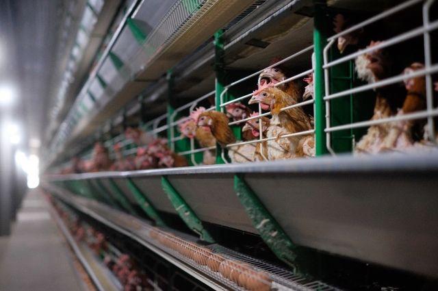 Россия начнет поставлять животноводческую продукцию в Кувейт