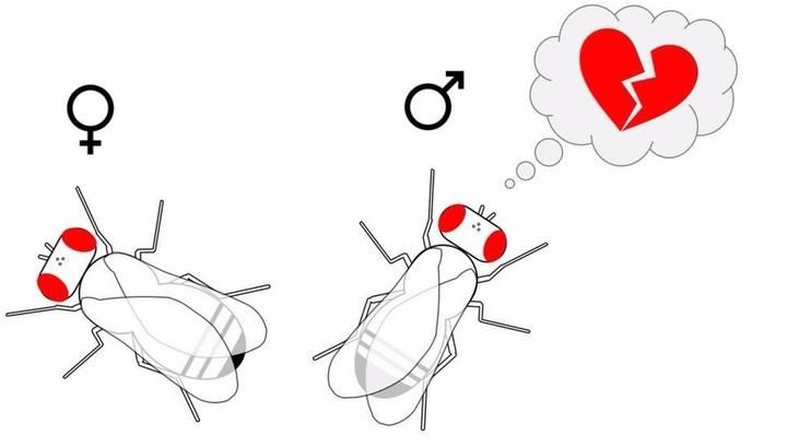 Учёные прояснили молекулярные основы отбитого желания у мужских особей