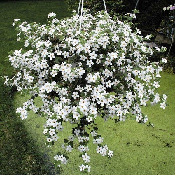 Идеальная спутница петунии (да и самостоятельный цветок). Моя находка-2019