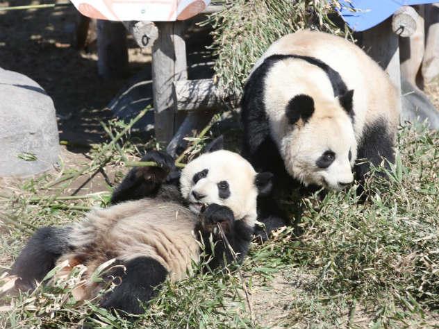 Свалившаяся с дерева толстая панда умилила YouTube