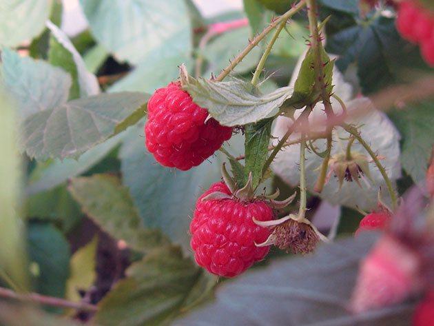 Как размножить ремонтантную малину зелеными черенками весной