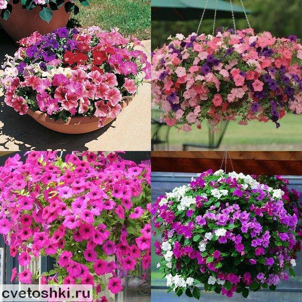 Петуния цветов когда сажать